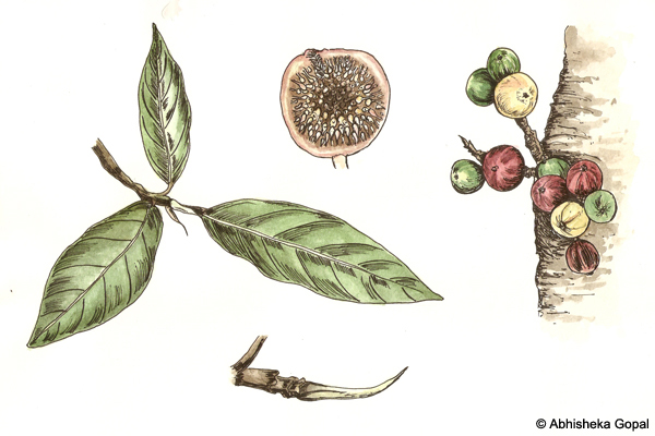 Wild-Fig-or-Gular-Ficus-racemosa