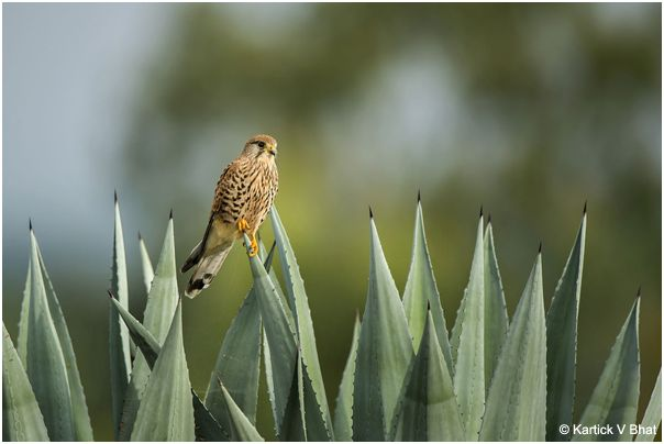 common_kestrel