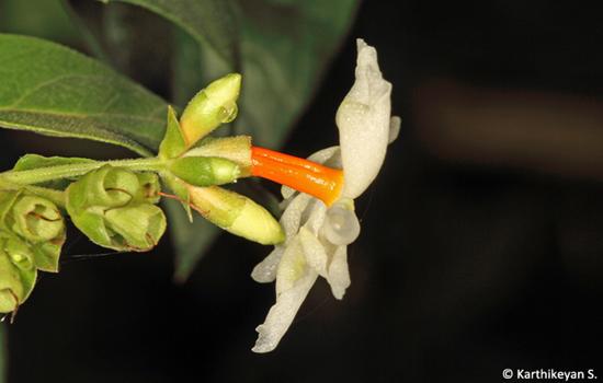 coral-jasmine-paarijatha_2