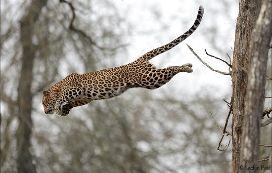flying-leopard