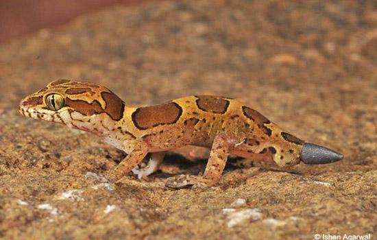 geckos_2