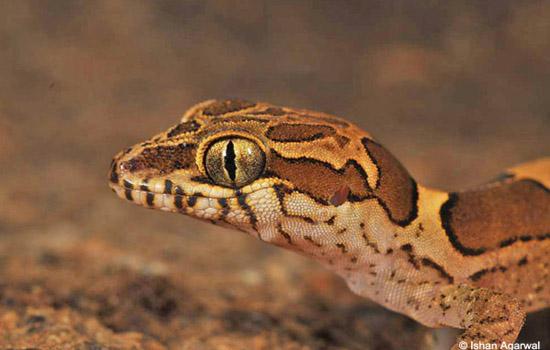 geckos_3
