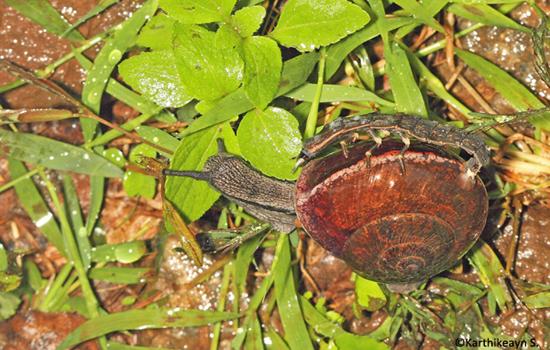 glow_worm_snail_3