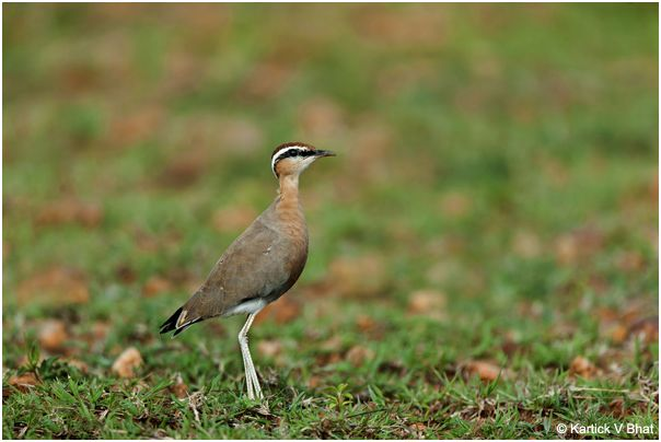 indian_courser