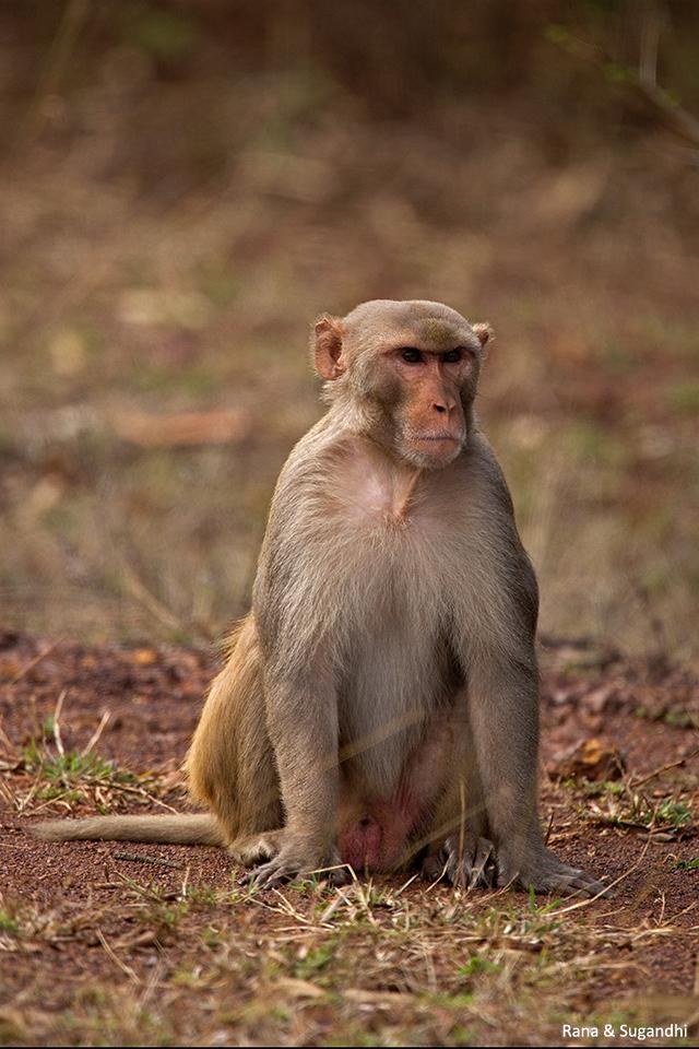 macaqueBidar1