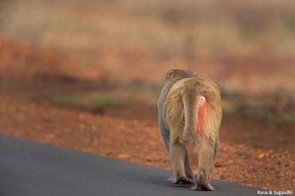 macaqueBidar2