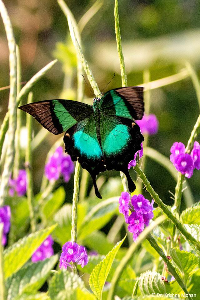 Malabar Banded Peacock (Papilio buddha)