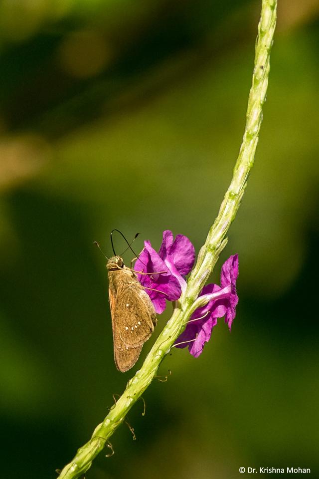 Swift Butterfly
