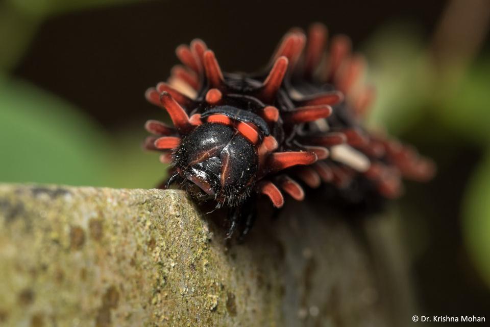 Crimson Rose Caterpillar