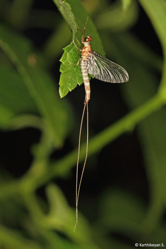Adult Mayfly
