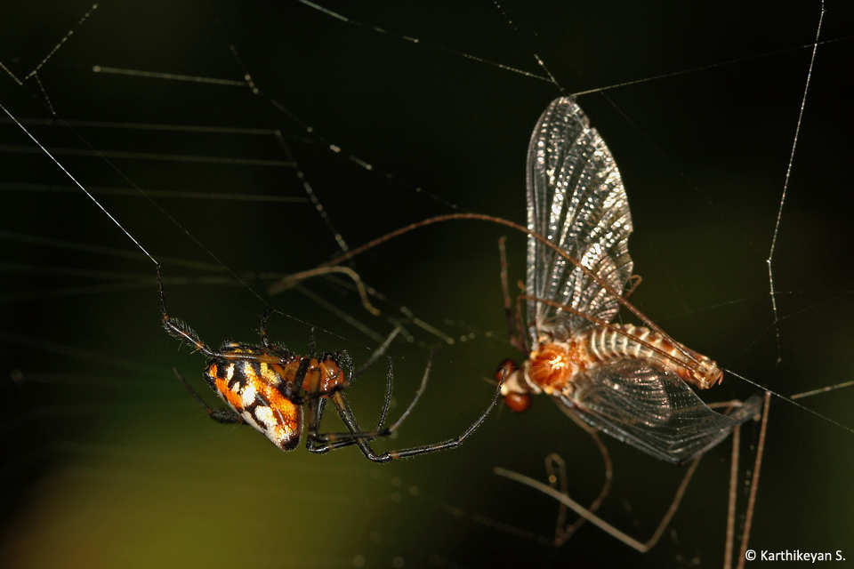 Orchard Spider Mayfly