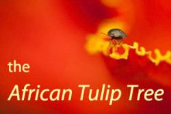 cover-african tulip