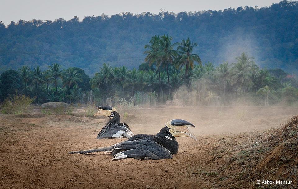 iconic-hornbills