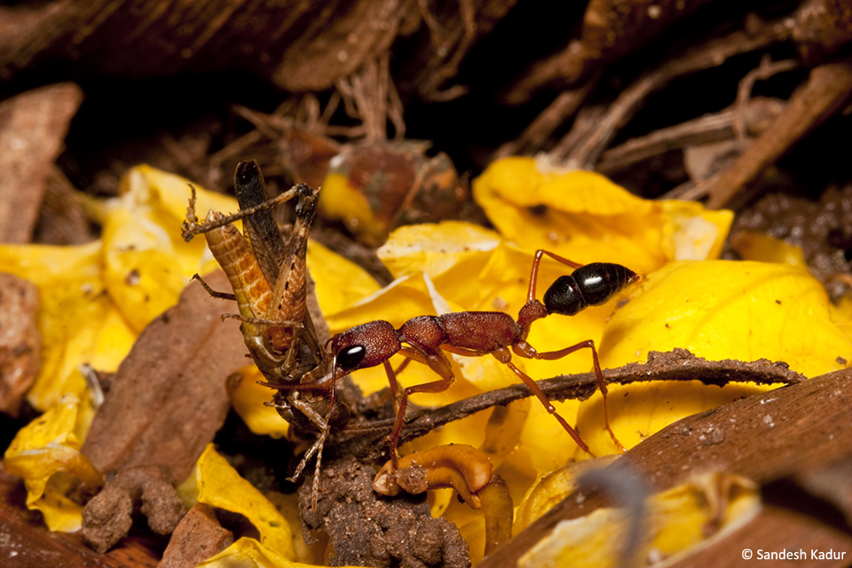 A Jumping Ant Harpegnathos saltator, walks over yellow flower petals enroute to its nest hole.