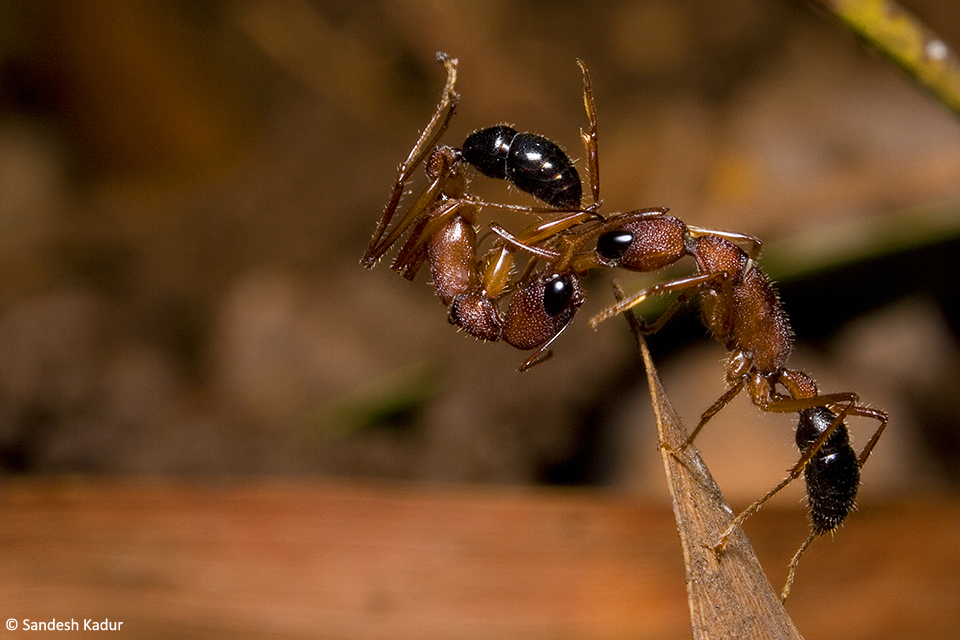 Jumping ants Herpegnathos saltator with their slicing mandibles are formidable predators of the forest floor. They defend their colonies against other members. Here we see a victorious ant climbing a leaf to dislodge a member from an invading colony.