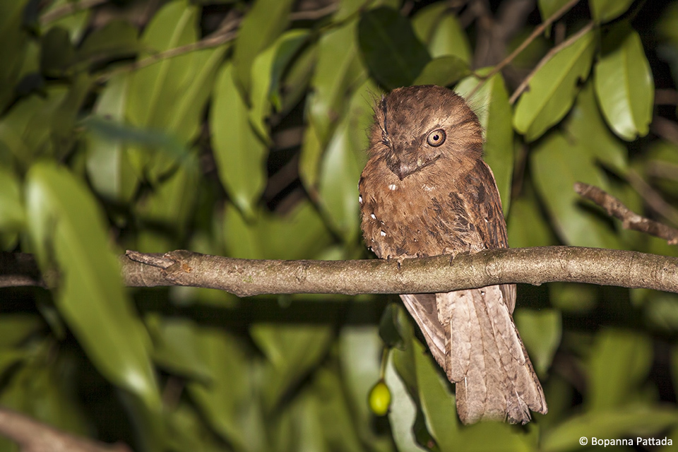9.Frogmouth