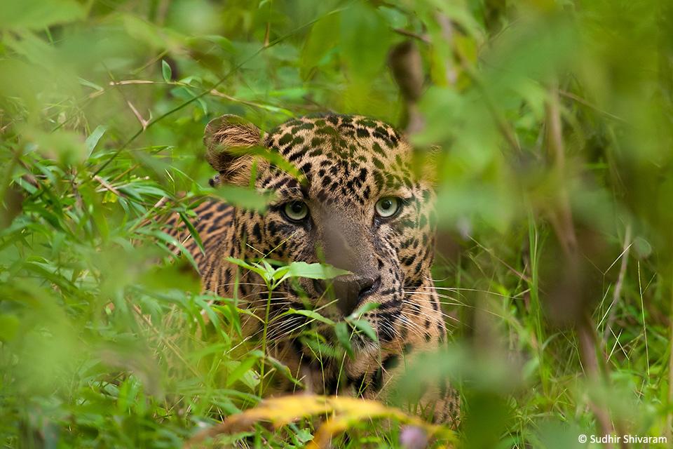Sudhir Leopard