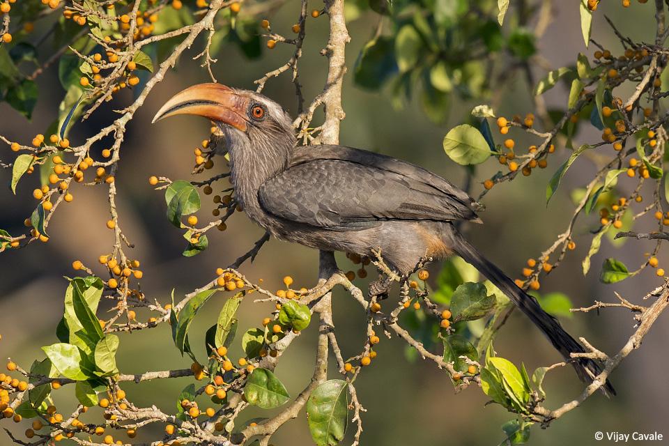 Vijay Hornbill