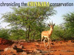 chinkara cover