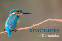 cover-kingfishers