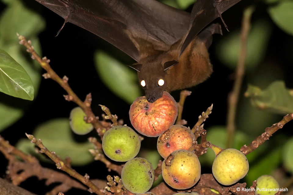 How To Get Rid Of Fruit Bats From Trees