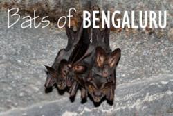 cover-bats