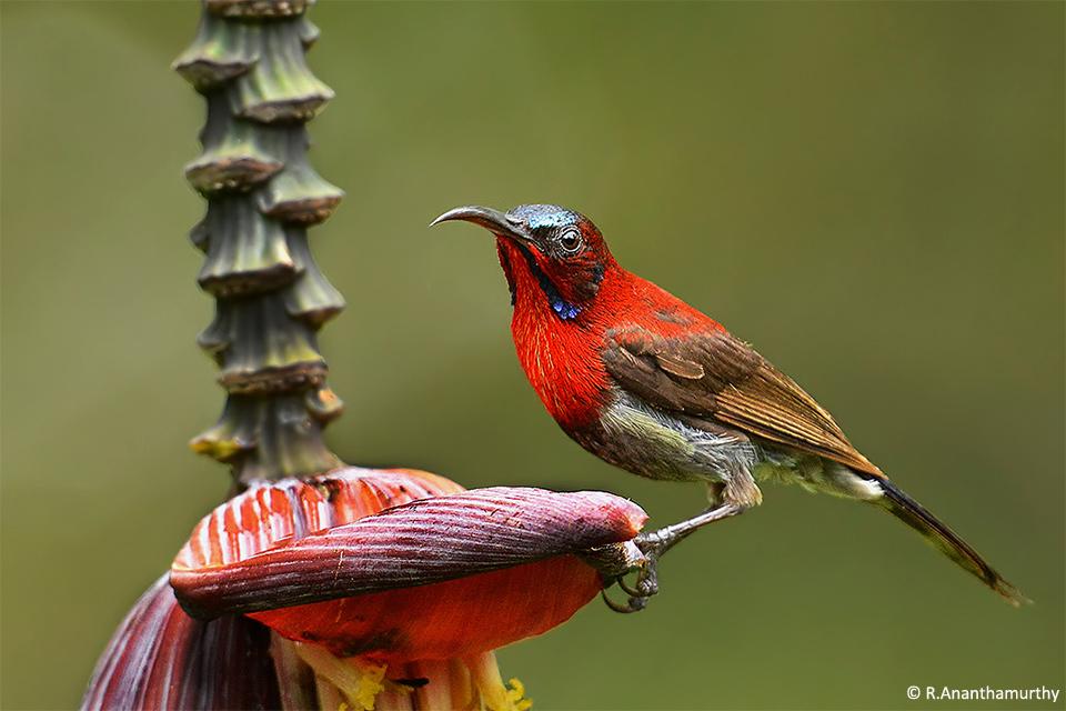 15Sunbird