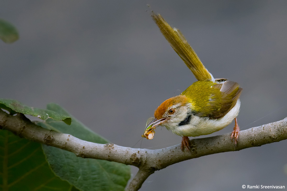 8.Common-Tailor-bird