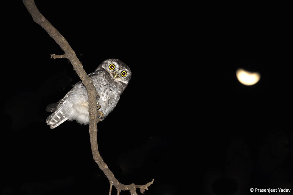 2Spotted owlet