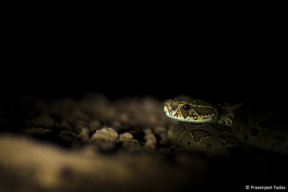 9Russlel Viper