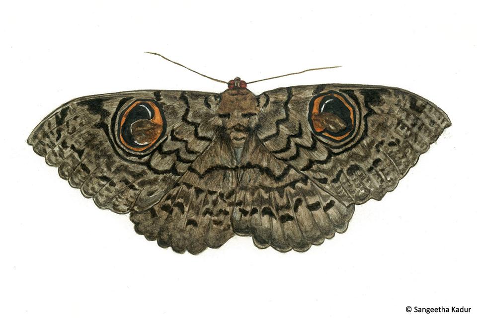 5owl moth
