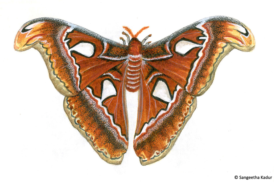 7atlas moth