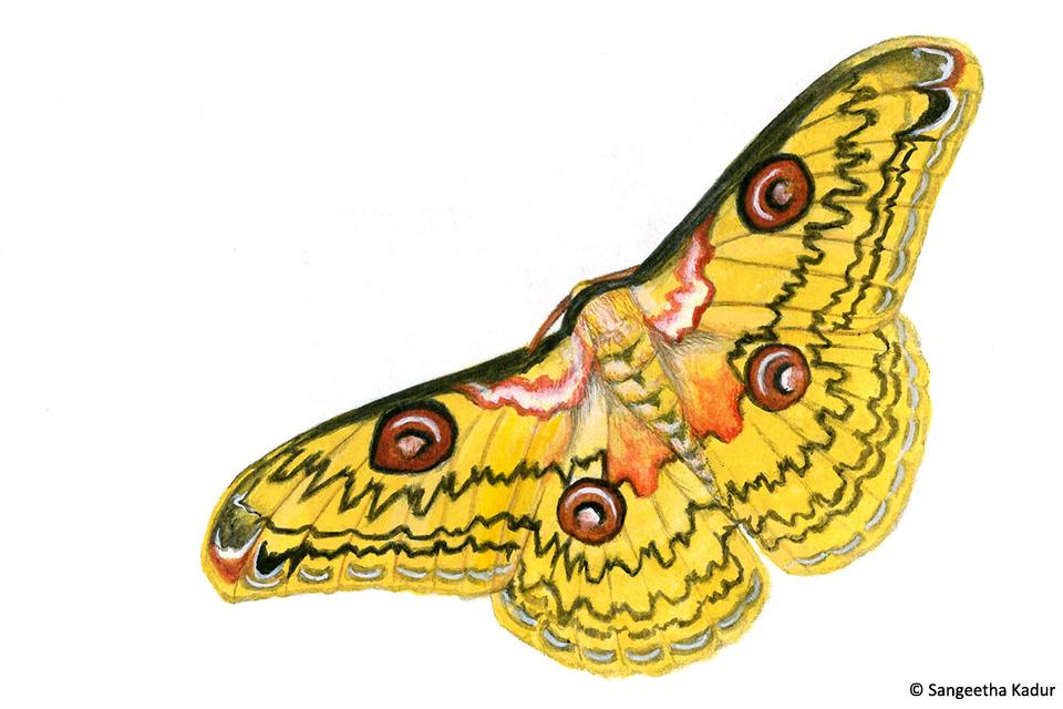 9golden emperor moth