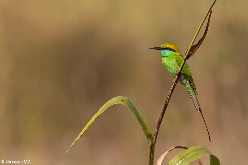 01 Green Bee-eater