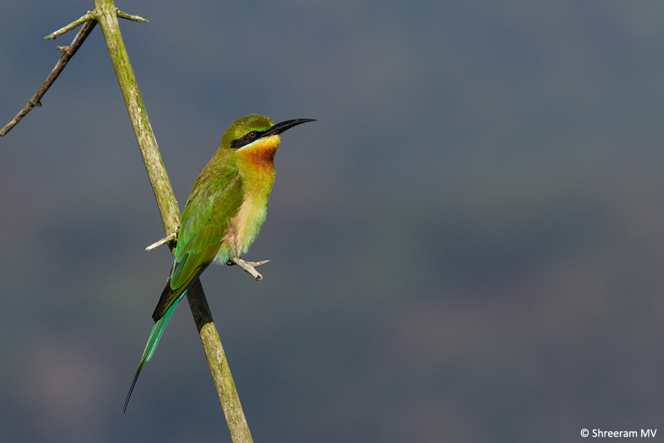 02 Blue-tailed Bee-eater-1