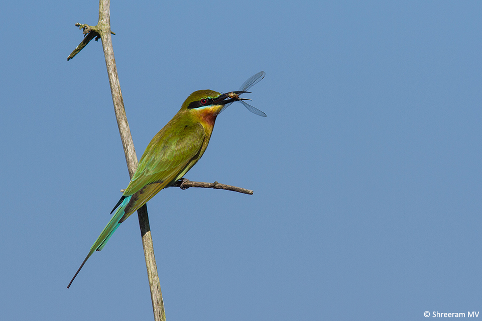 02 Blue-tailed Bee-eater Feeding