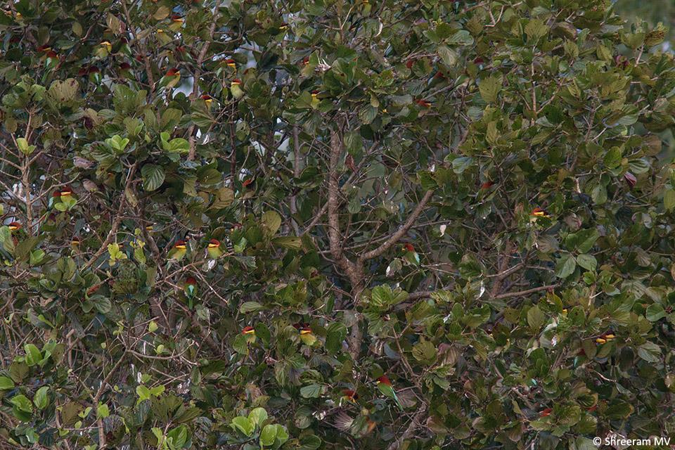 03-2 Chestnut-headed Bee-eater