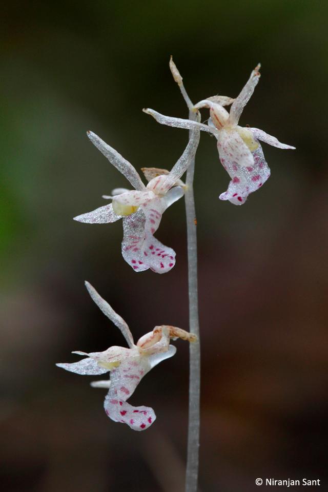 13-epipogium roseum