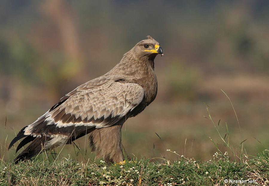 02-steppe eagle