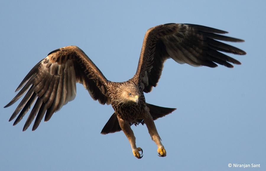 03-imperial eagle