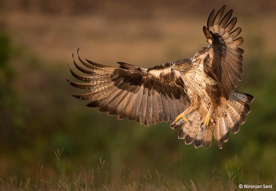 08-bonelli's eagle