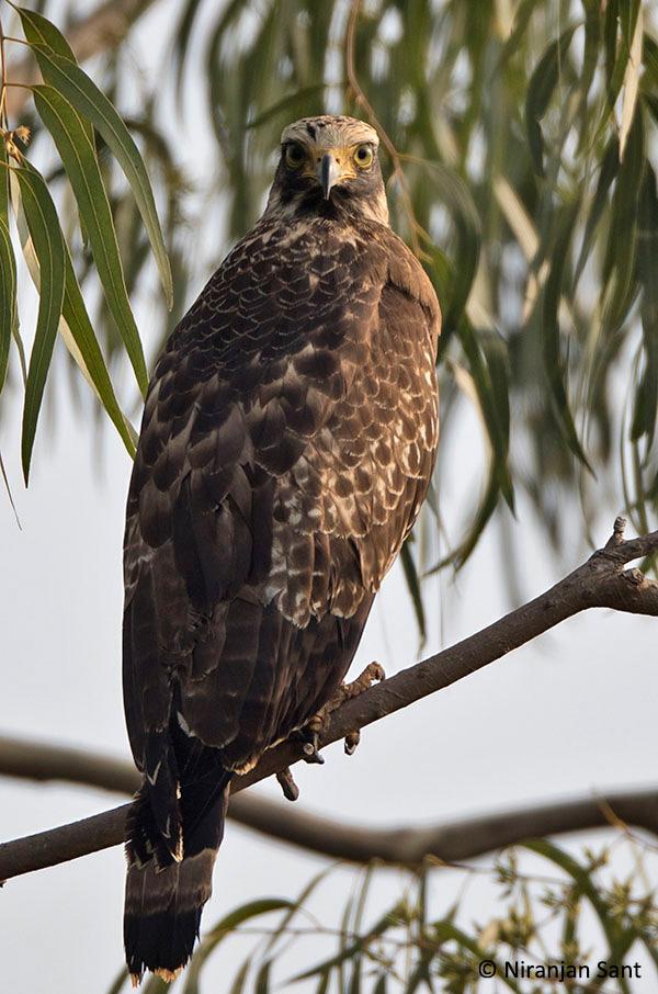 11-crested serpant eagle juv