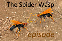 cover-spider wasp