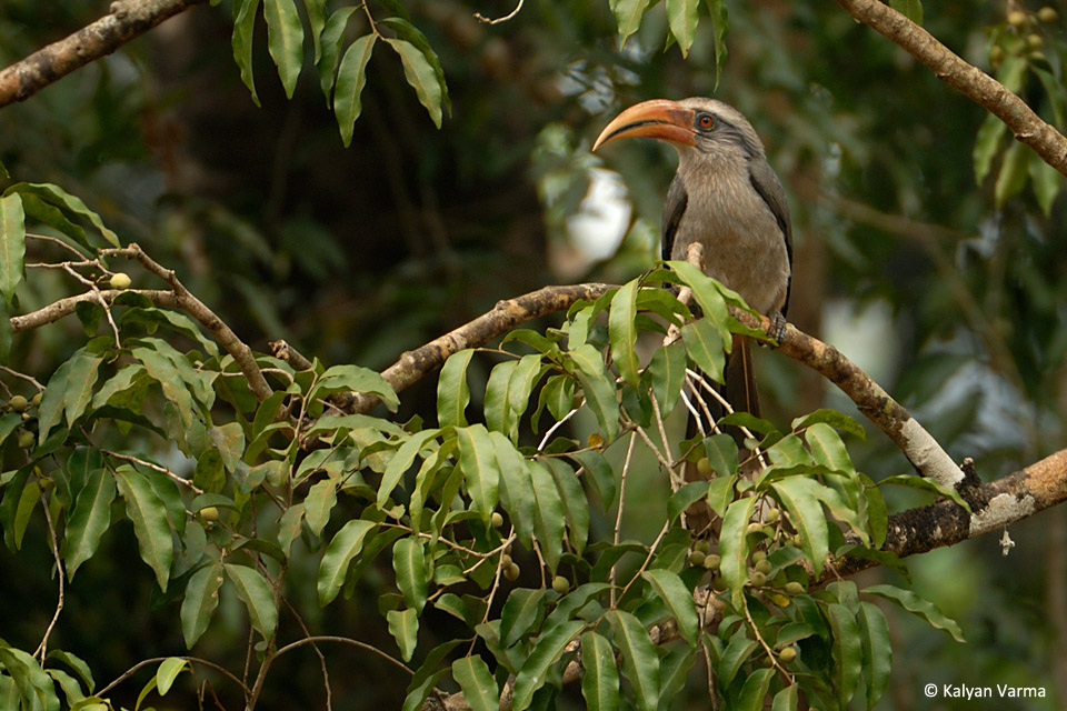 The only endemic Hornbill in the Western Ghats, the Malabar Grey Hornbill is also the smallest of the Hornbills in India and lacks the typical casque the hornbills are known for.