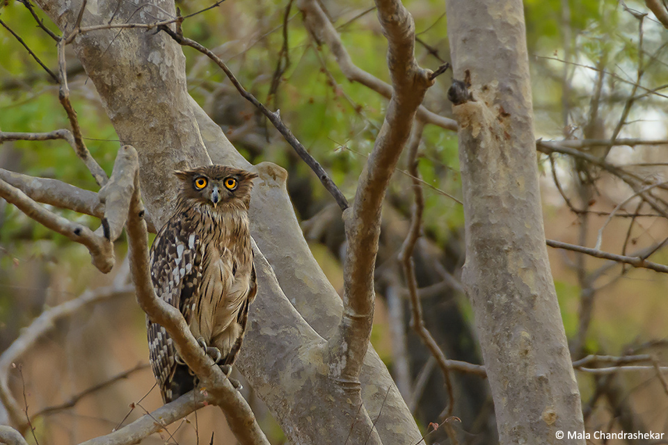 Brown Fish Owl (Bubo zeylonensis)