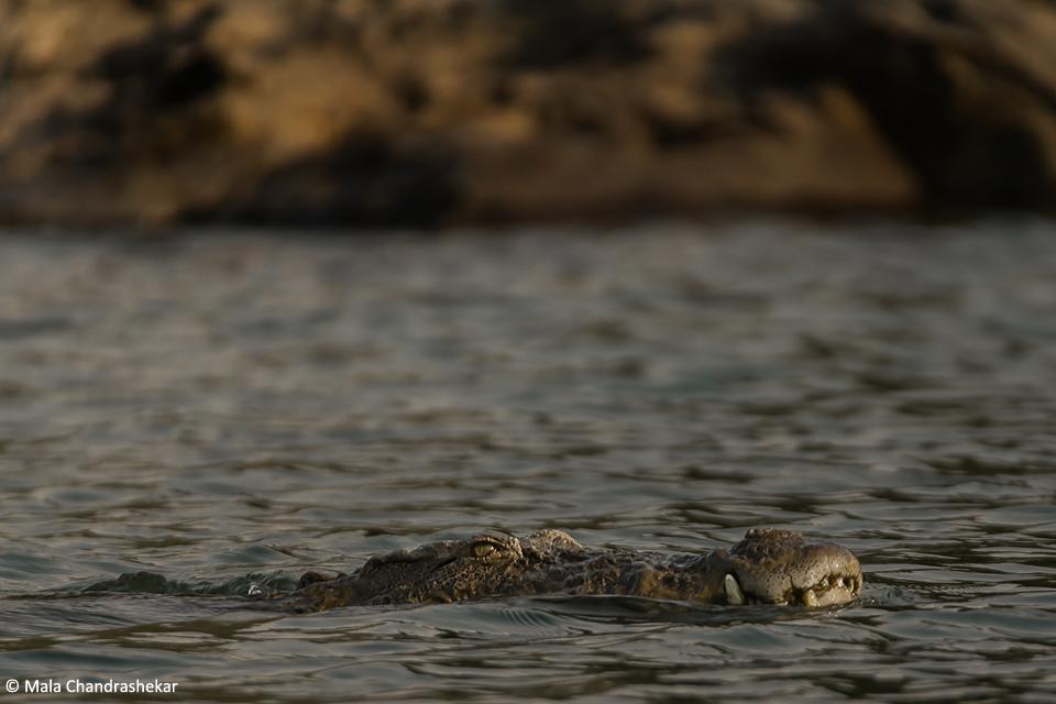 Marsh Crocodile in the Cauvery