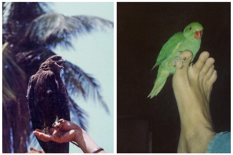 5_Sandesh_BlackKite_parakeet