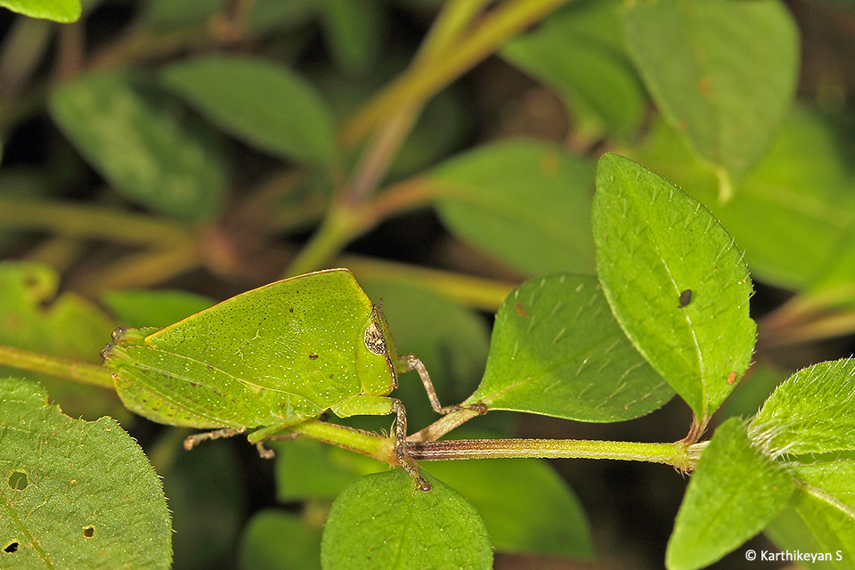 Grasshopper (Phyllochoreia sp.): This tiny grasshopper camouflages itself very well amidst vegetation.