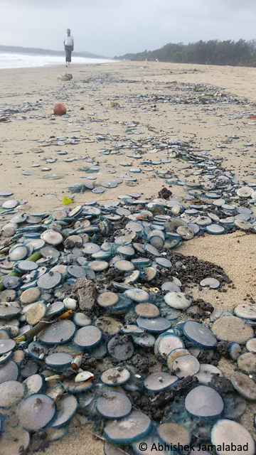 Blue buttons piled up at the waterline on Karwar beach