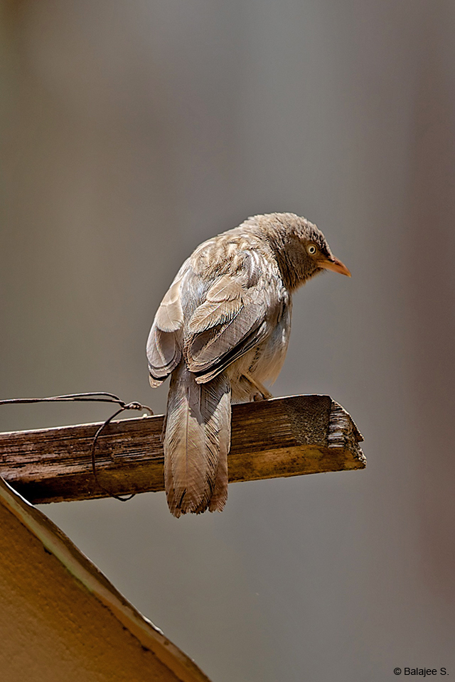Jungle Babblers frequently like to forage amidst the leaf litter, or drink from the bird baths around the Gol Ghar
